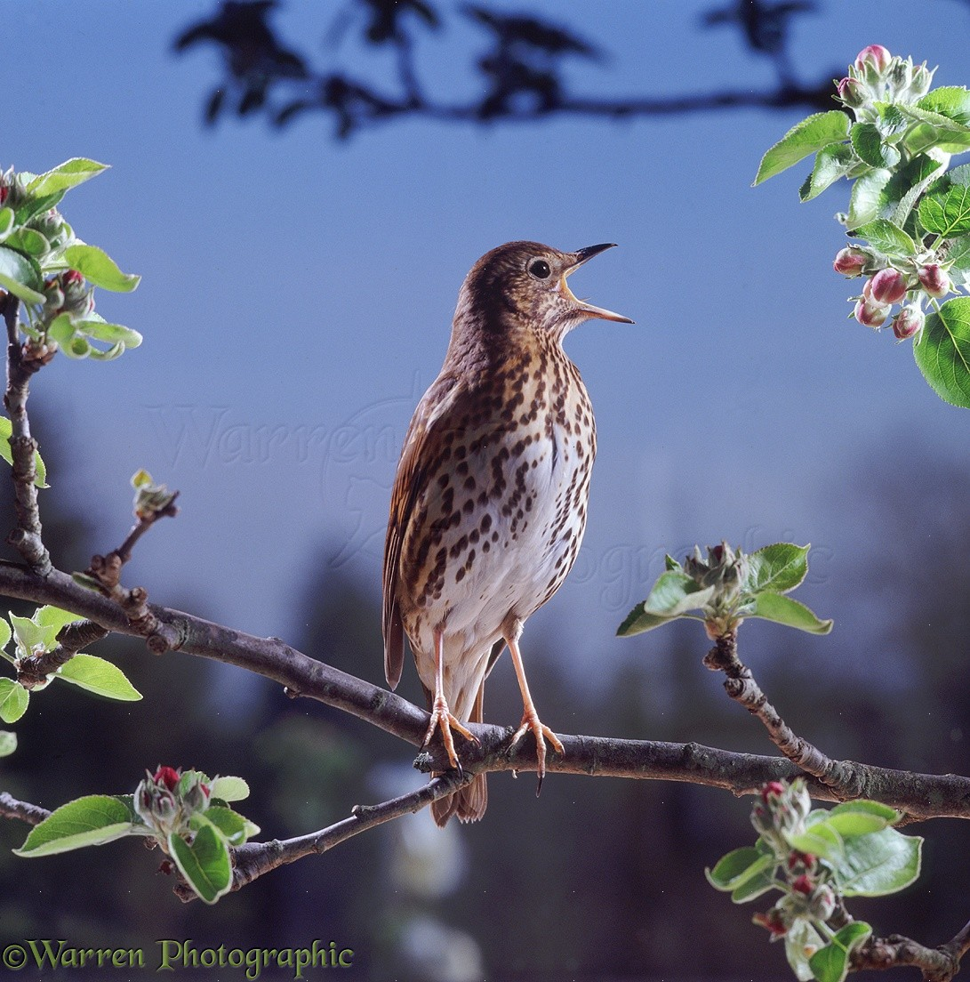 Song Thrush (Turdus Philomelos) Male Singing In Spring