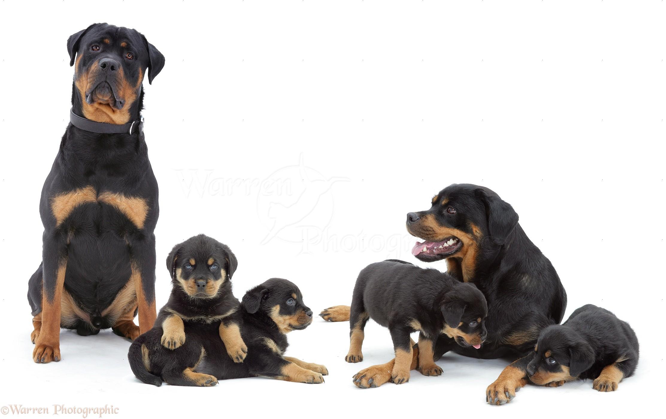 Wp10276 rottweiler family
