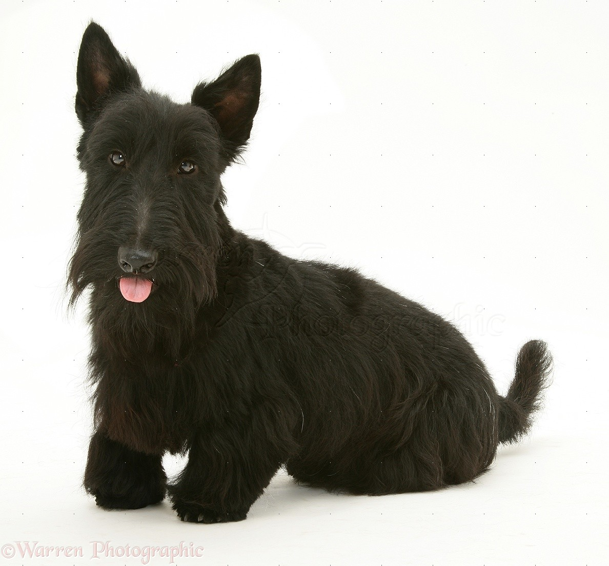 Wp10355 scottish terrier angus with his tongue out