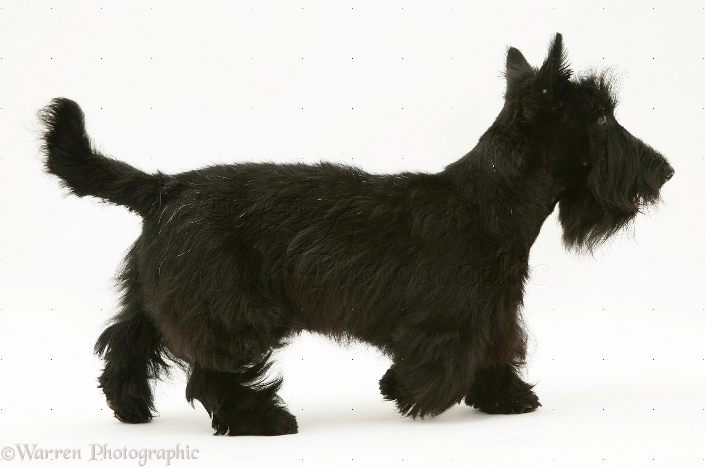 Wp10356 scottish terrier dog angus walking across
