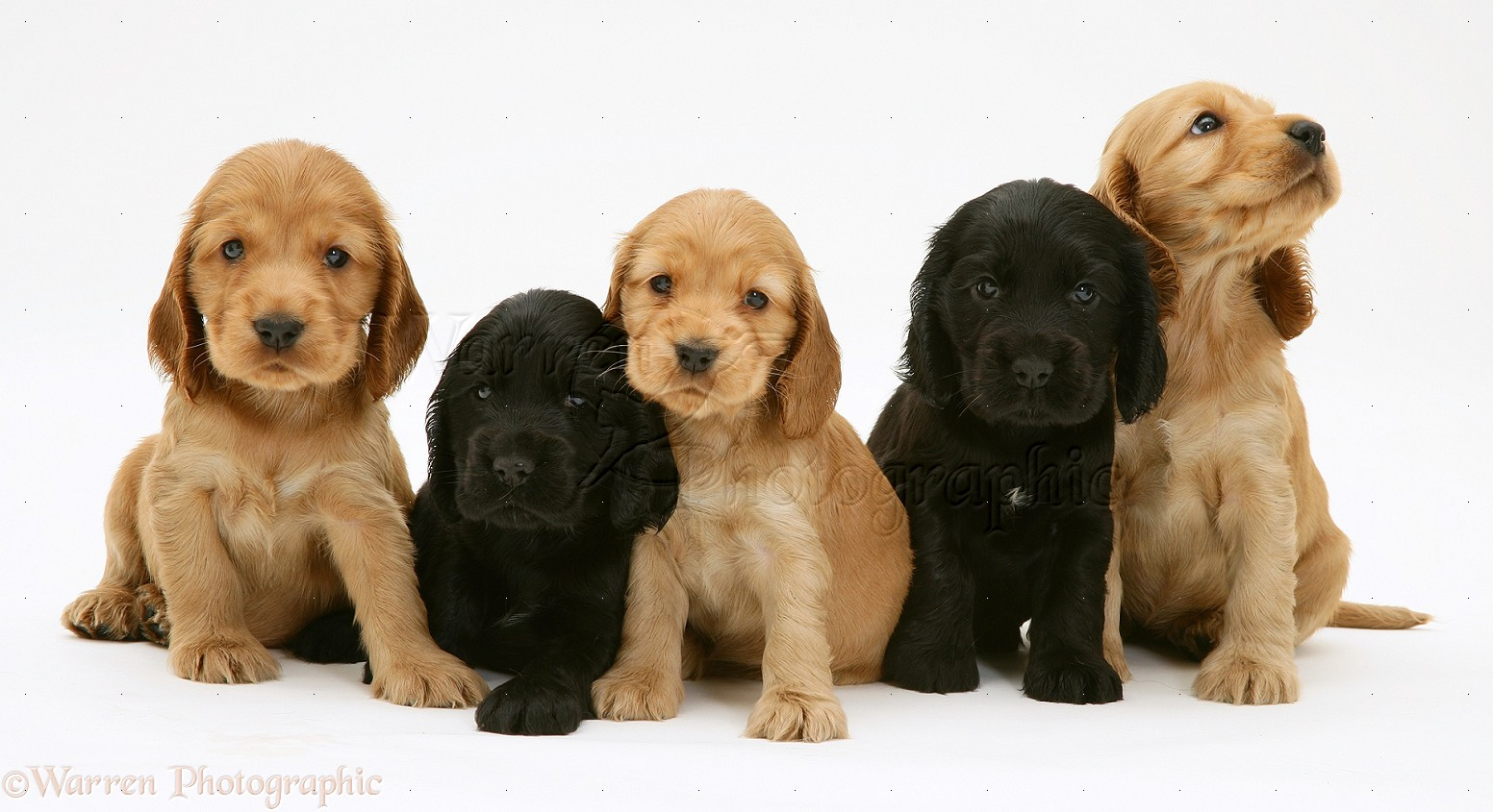 Cocker Spaniel Dogs For Sale Uk