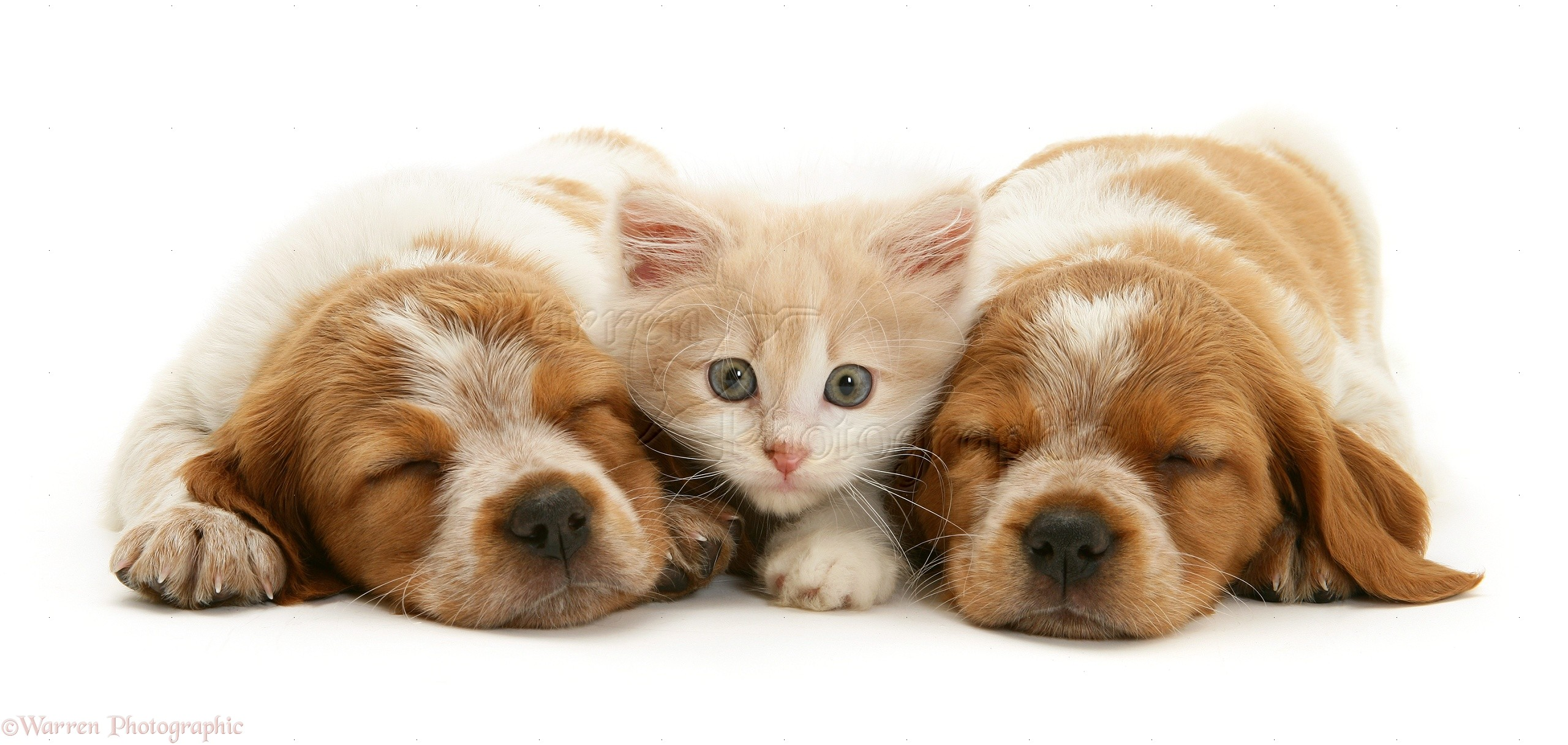 Pets Kitten With Sleepy Spaniel Pups Photo Wp10366
