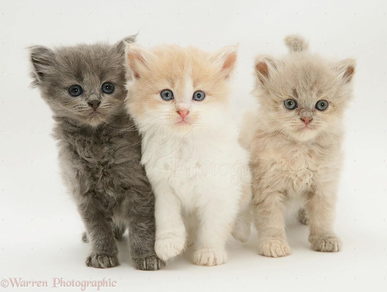 three cute kittens photo wp10371