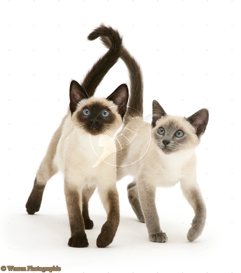 Blue Point Seal Siamese Cats Seal And Blue Point Siamese