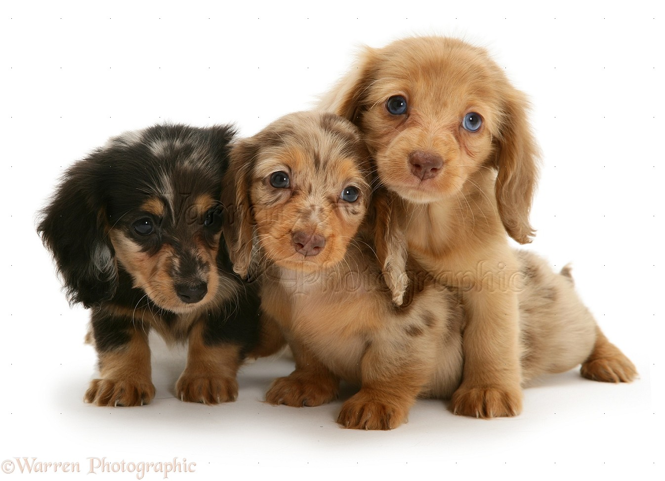 Cute Long Haired Dachshund Puppies