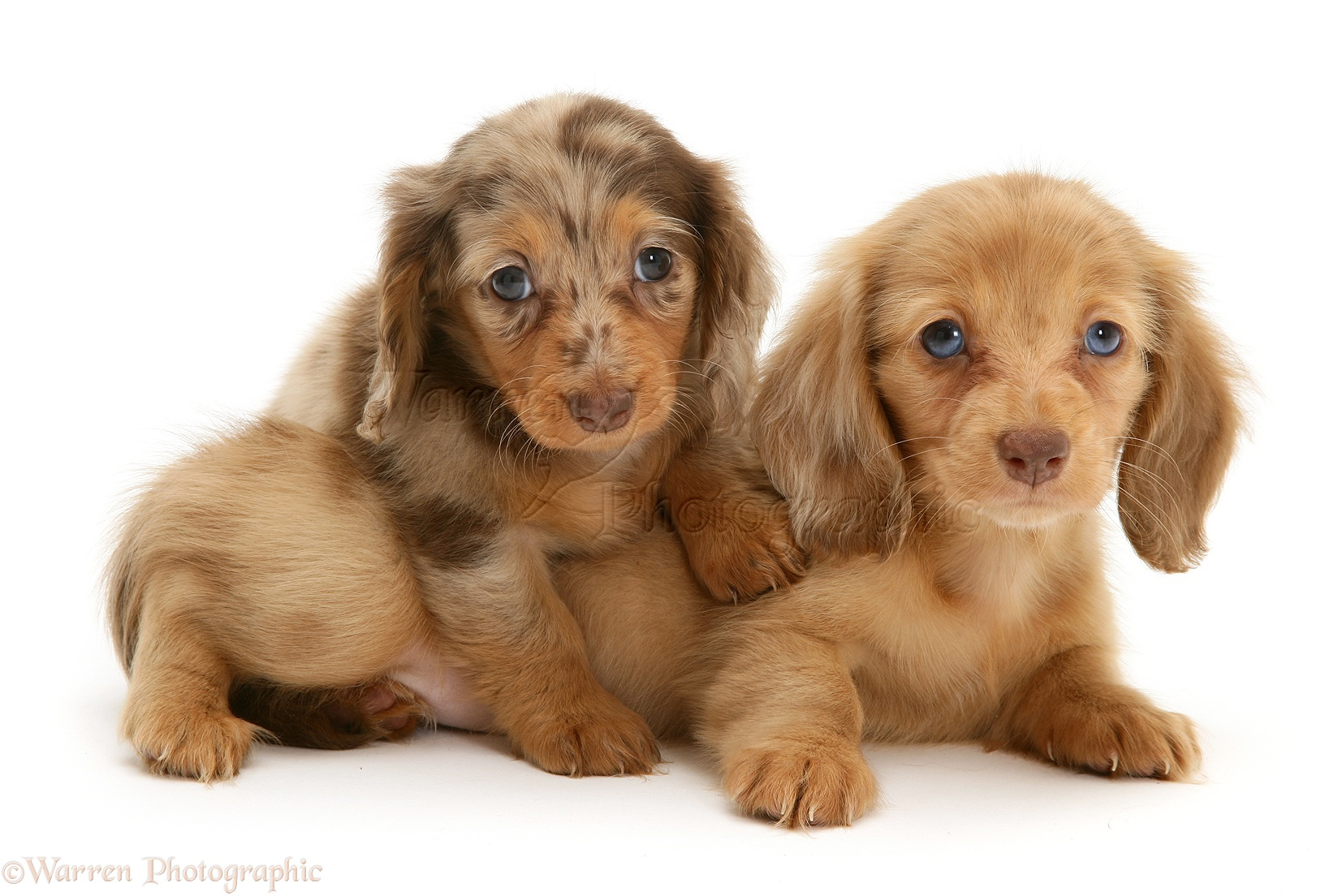 10426 Dachshund pups white background - NO.1# LONG HAIRED DACHSHUNDS INFORMATION GUIDE