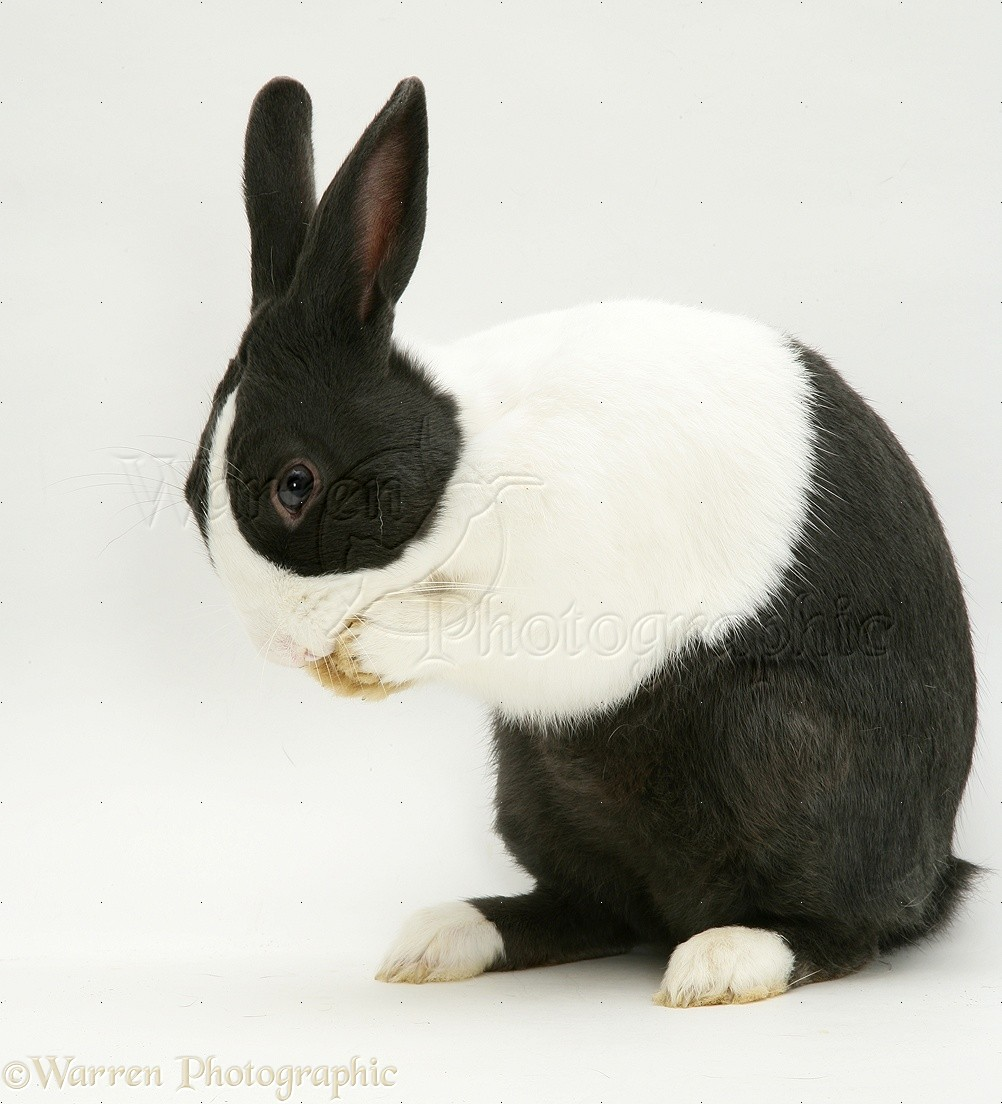 Black And Red >> Black-and-white rabbit photo - WP10440