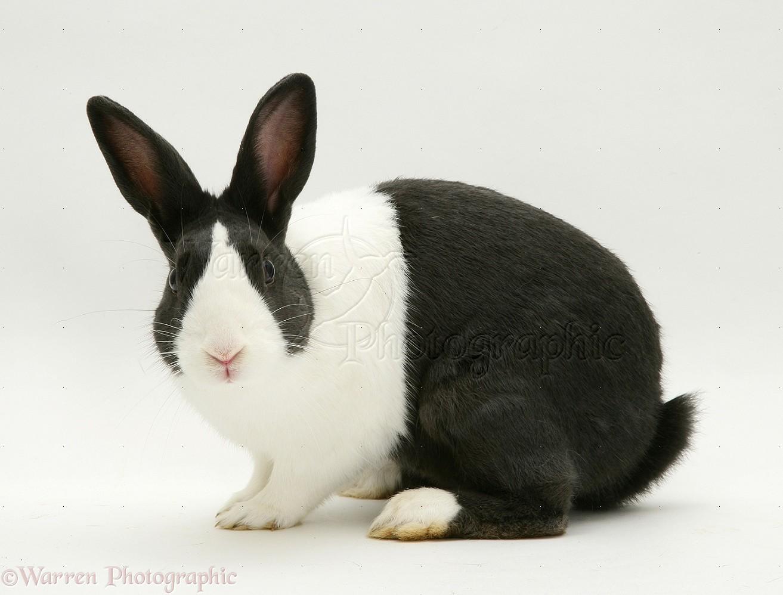 Black-and-white Rabbit Photo