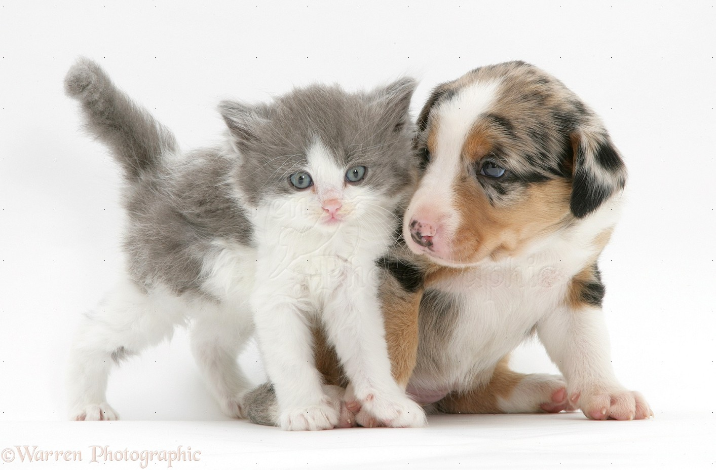 Pets: Border Collie pup and kitten photo - WP10461