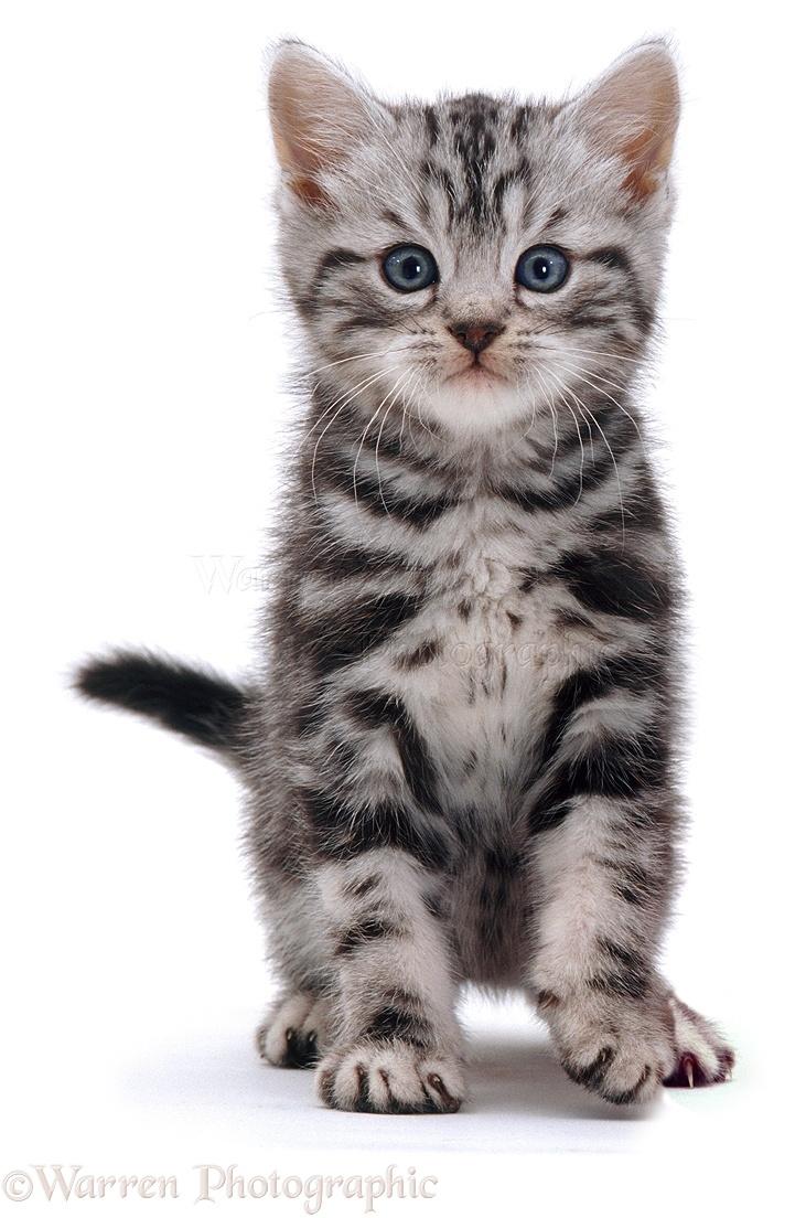 British Shorthair silver tabby kitten photo WP