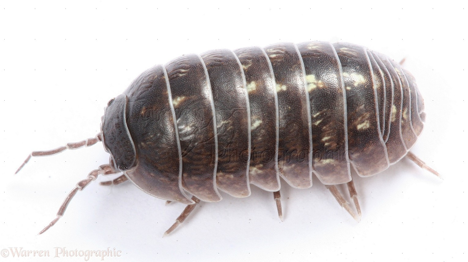Image result for woodlice