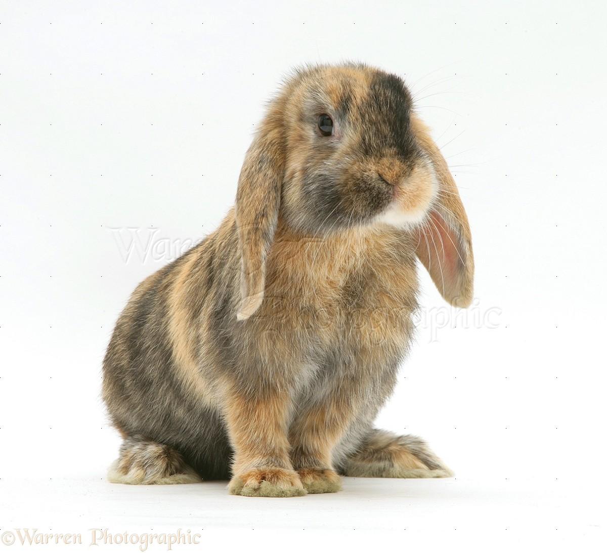 Dwarf lop rabbits - photo#1