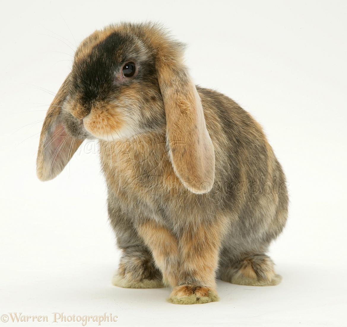 Dwarf lop rabbits - photo#9