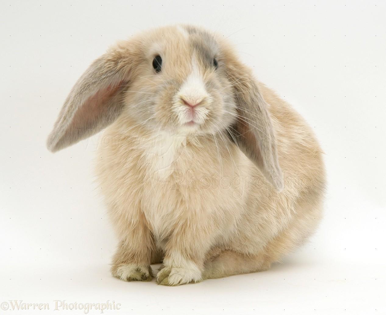 Dwarf lop rabbits - photo#5
