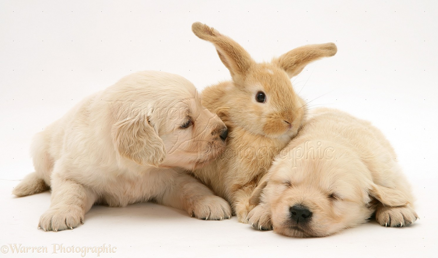 Baby sandy Lop rabbit with Golden Retriever pups photo - WP10573
