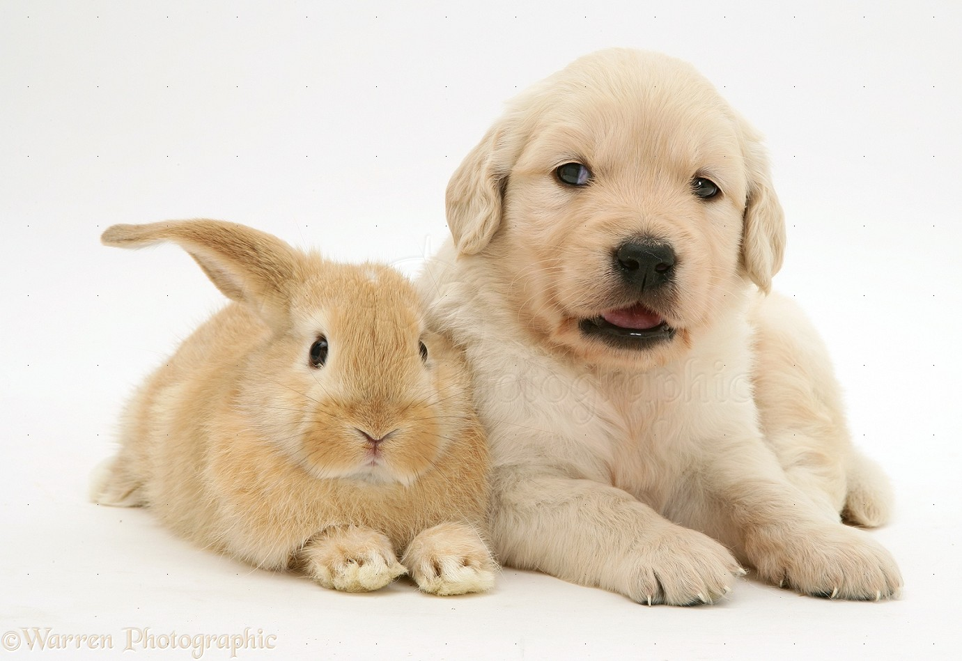 Baby sandy Lop rabbit with Golden Retriever pup photo - WP10574