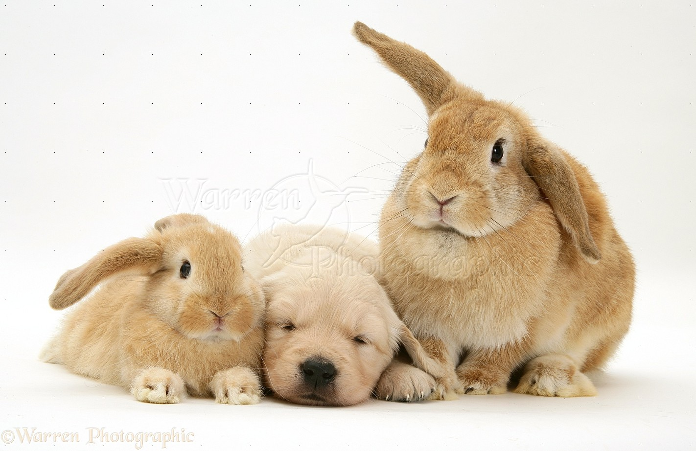 WP10576 Sandy Lop doe and baby rabbits with Golden Retriever pup.