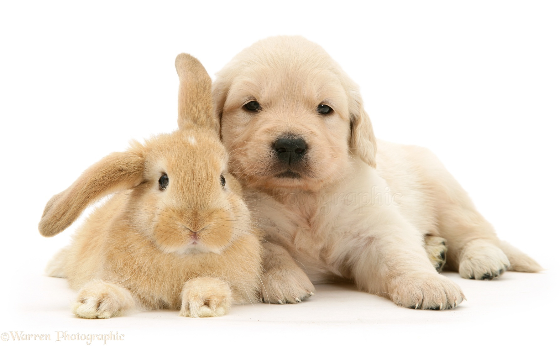 Baby sandy Lop rabbit with Golden Retriever pup photo - WP10578