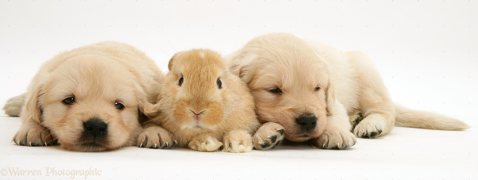Baby sandy Lop rabbit with Golden Retriever pups photo - WP10581