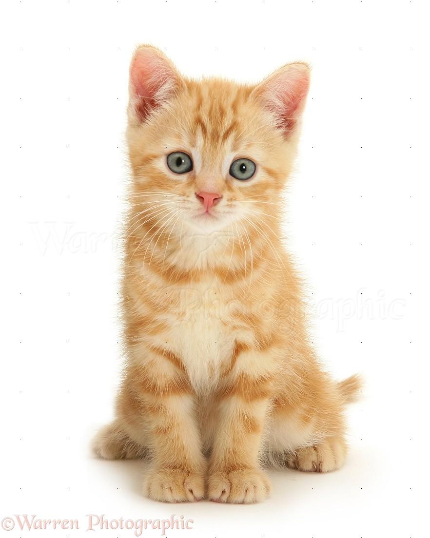 Yellow Cat Kittens