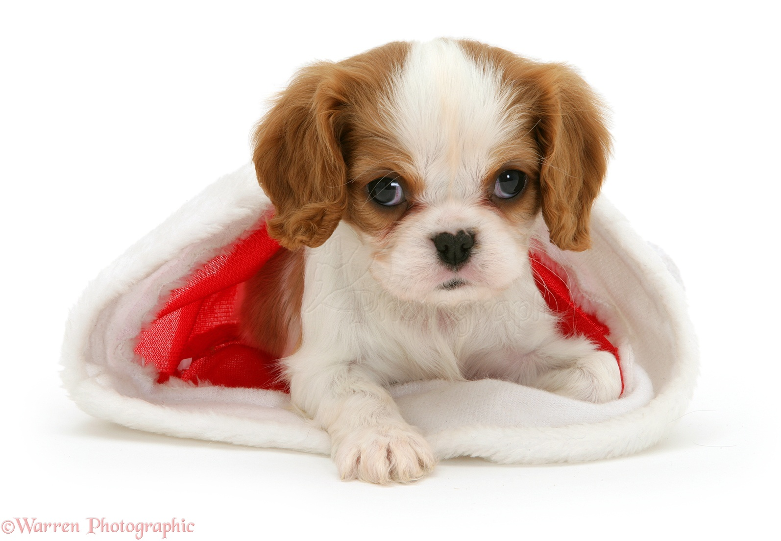 Blenheim cavalier king charles spaniel pup in a father christmas hat