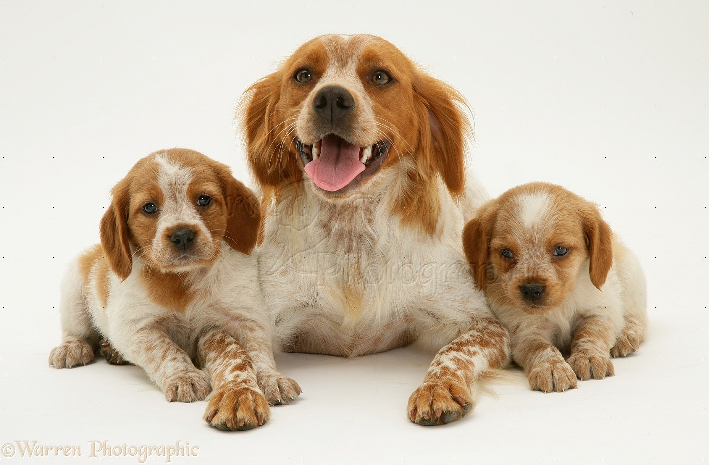 Brittany Dog Puppies