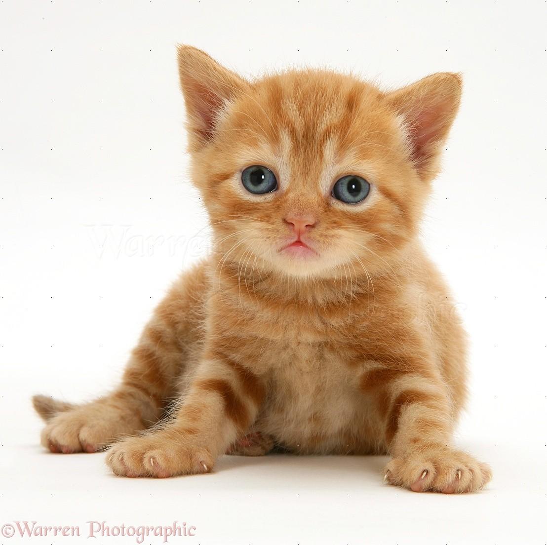 British shorthair red tabby kitten photo WP