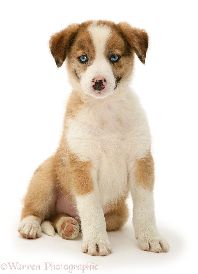 Blue Eyed Collie Dogs