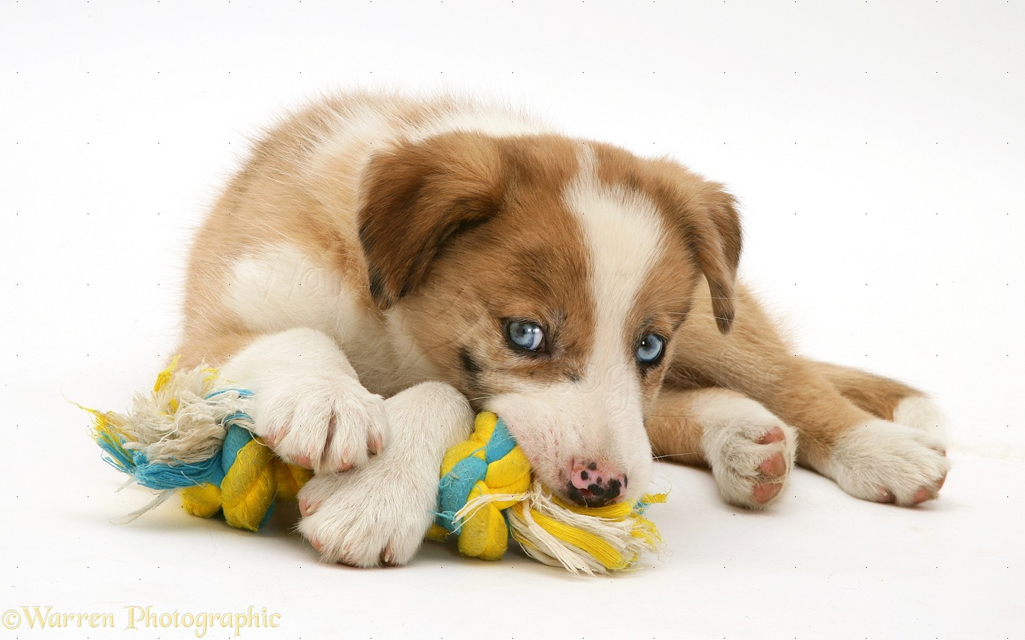 brown and white dog with blue eyes wwwpixsharkcom