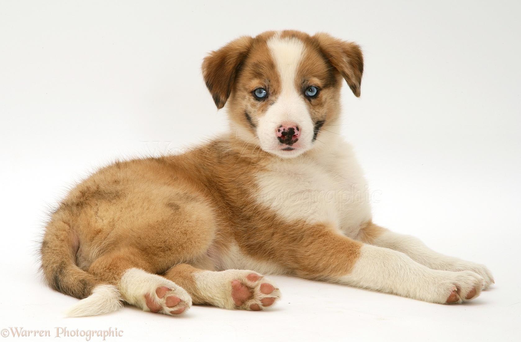 Dog Blue Eyed Red Merle Border Collie Puppy Photo Wp10757