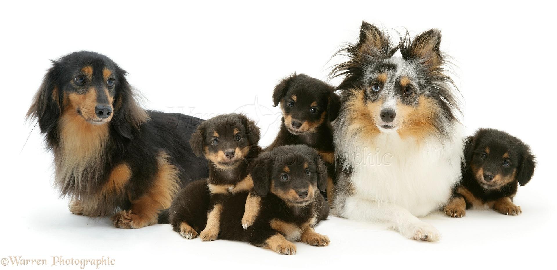 WP10805 Sheltie x Dachshund  Dachshund Sheltie Mix Puppies
