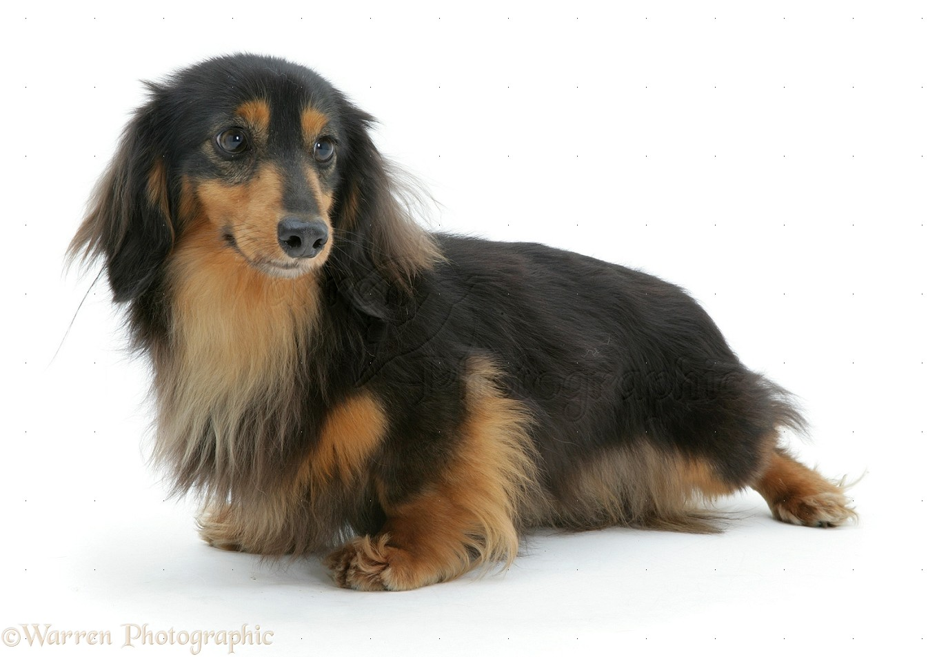 White Long Haired Miniature Dachshund