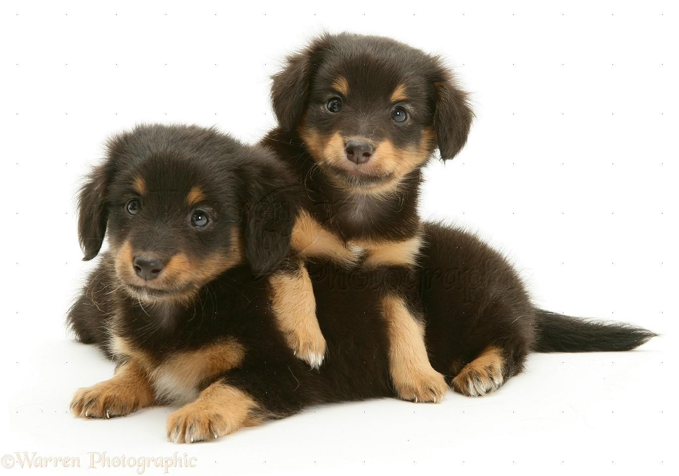 WP10807 Miniature Dachshund x Shetland Sheepdog pups , 6 weeks old .