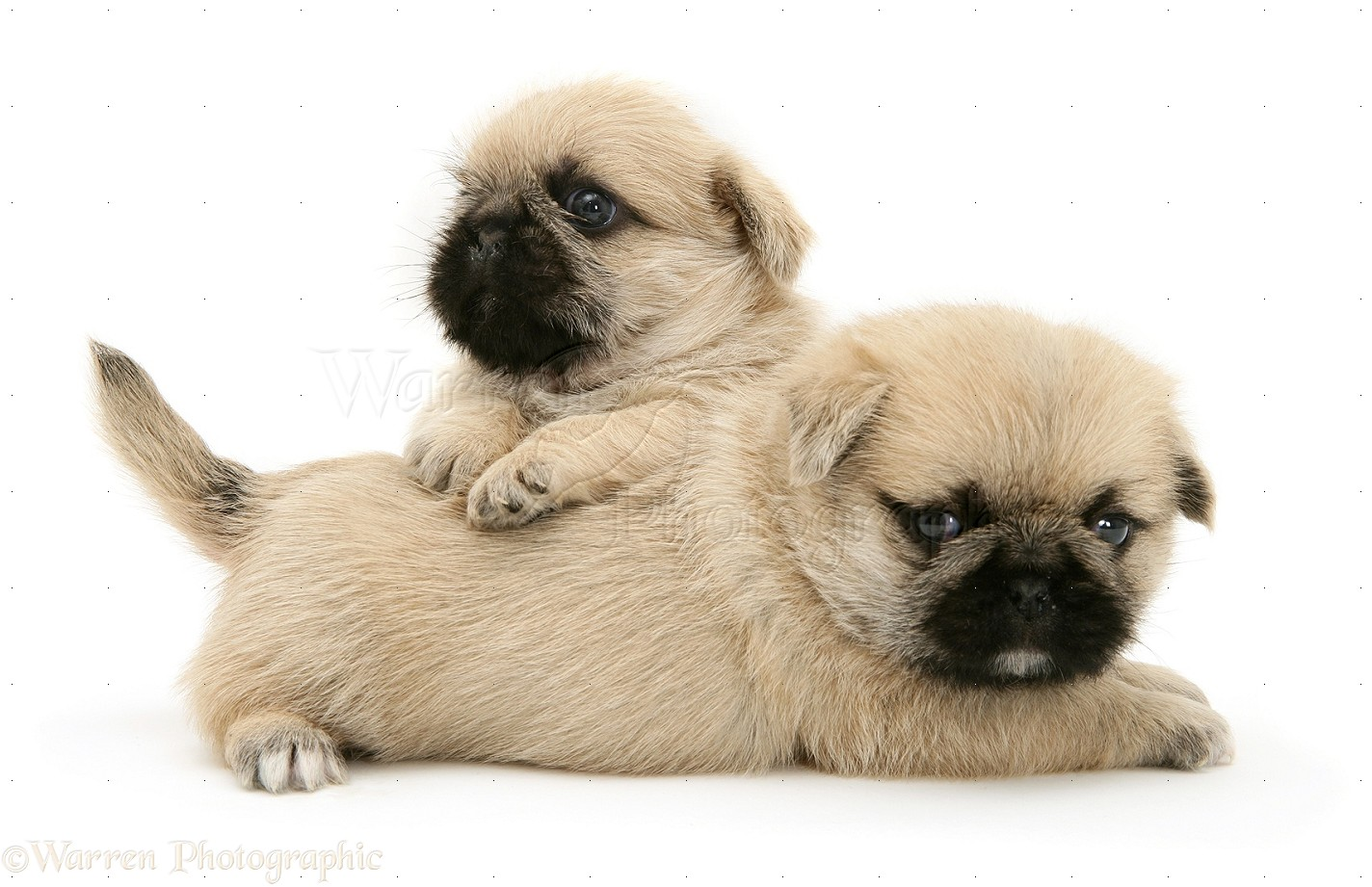 Pug Shih Tzu Puppies Group Picture Image Tag Keywordpictures Dog
