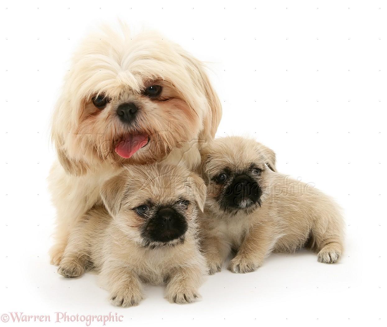 Dogs: Shih-Tzu bitch with her two Pugzu (Pug x Shih-Tzu ...