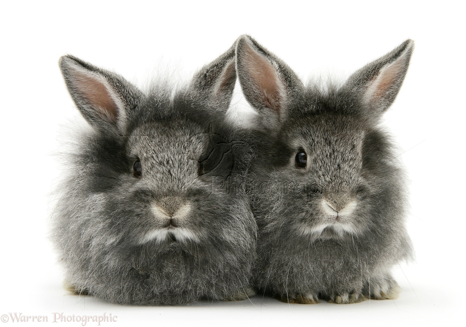 Baby silver Lionhead rabbits photo - WP10820