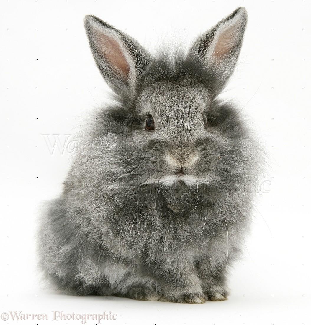 baby silver lionhead rabbit photo   wp10821