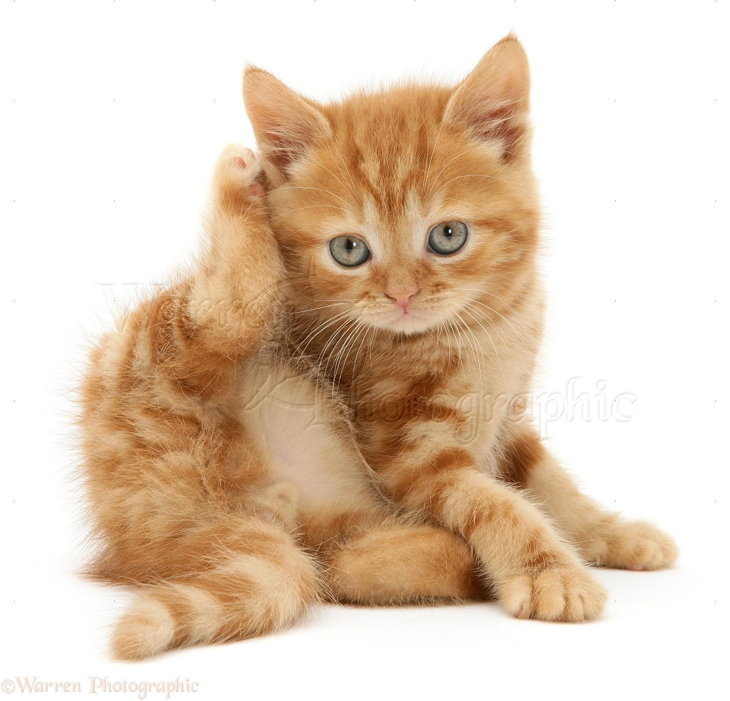 Cat Ears Scratching