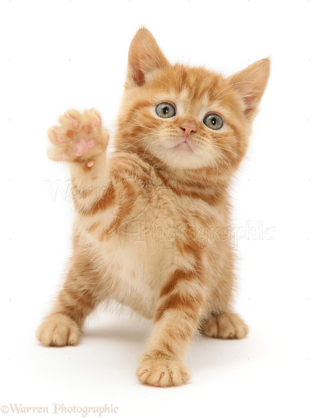 Red tabby British Shorthair kitten photo WP10863