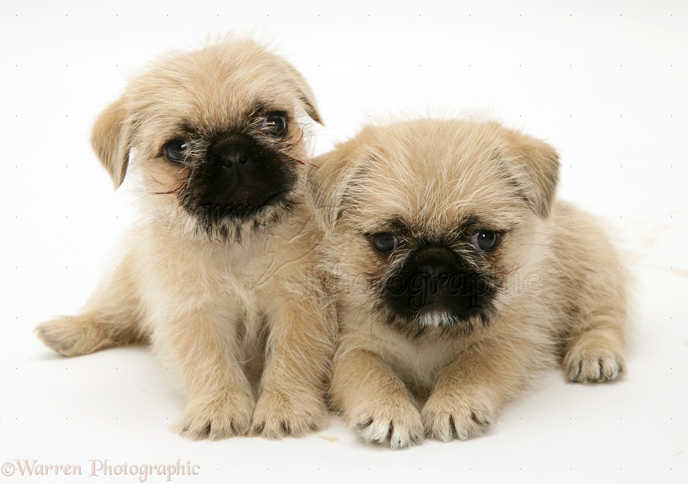 Shih Tzu Pug Cross Puppies