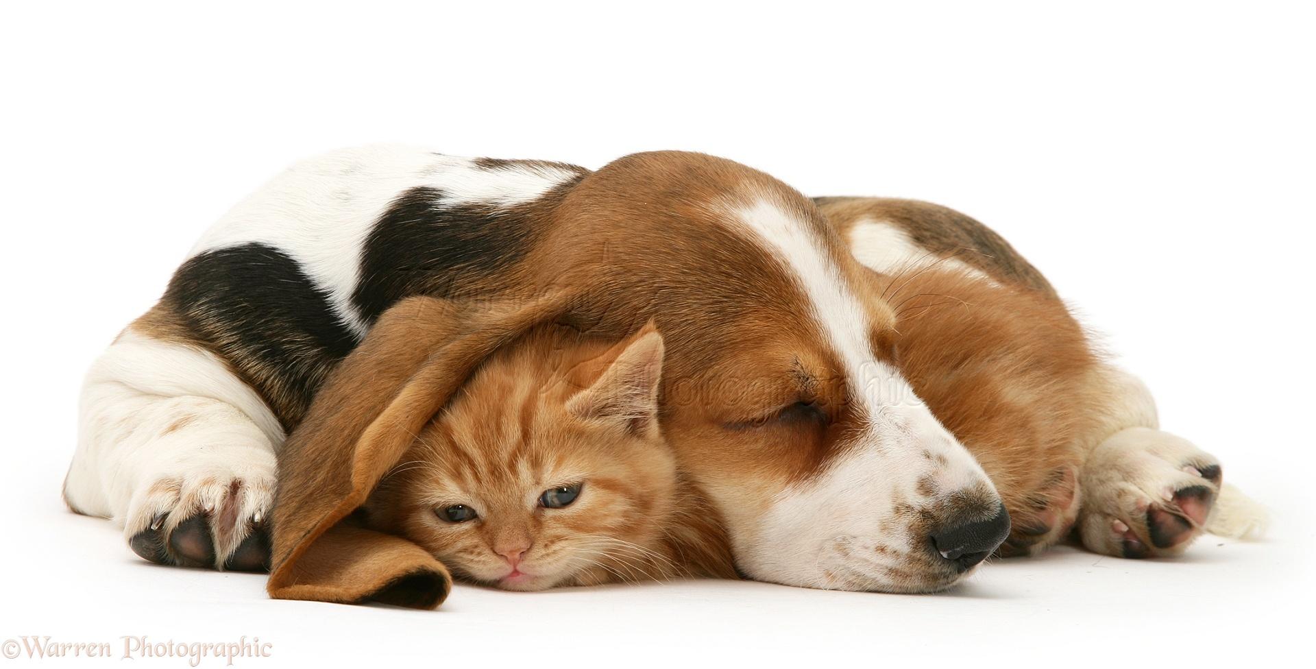 Pets Ginger kitten under the ear of a sleeping Basset pup photo