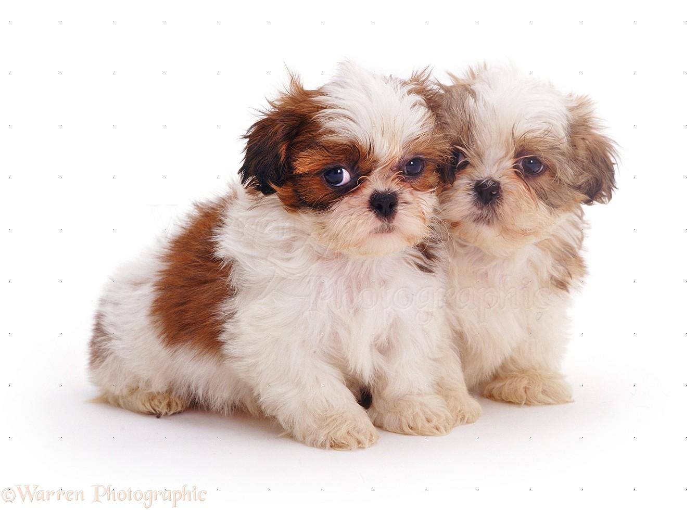Shih Tzu Dogs & Puppies