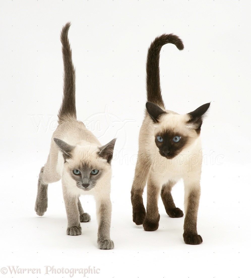 Seal-point and Blue-point Siamese kittens photo - WP11025