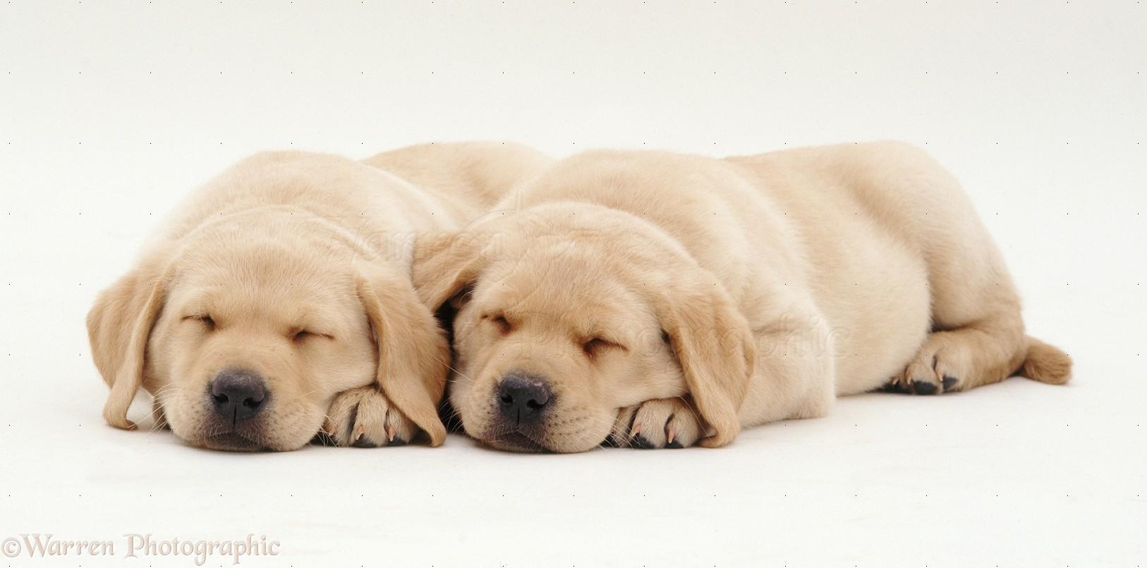 yellow lab puppy sleeping - photo #35