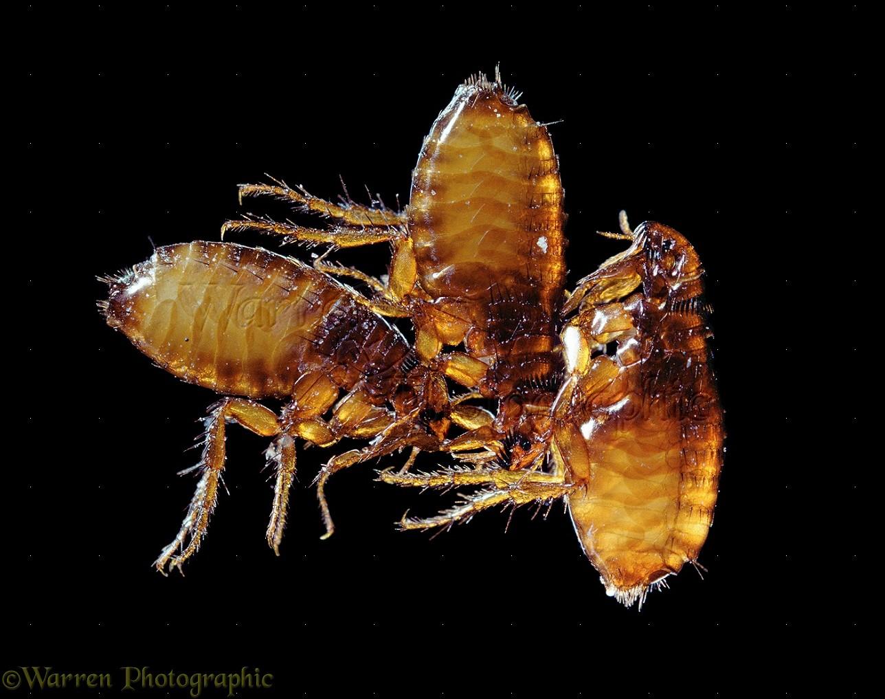WP11298 Cat Fleas ( Ctenocephalides felis ) Worldwide