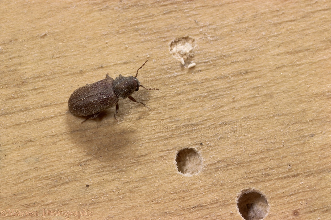 Small Bed Furniture Beetle Photo Wp11373
