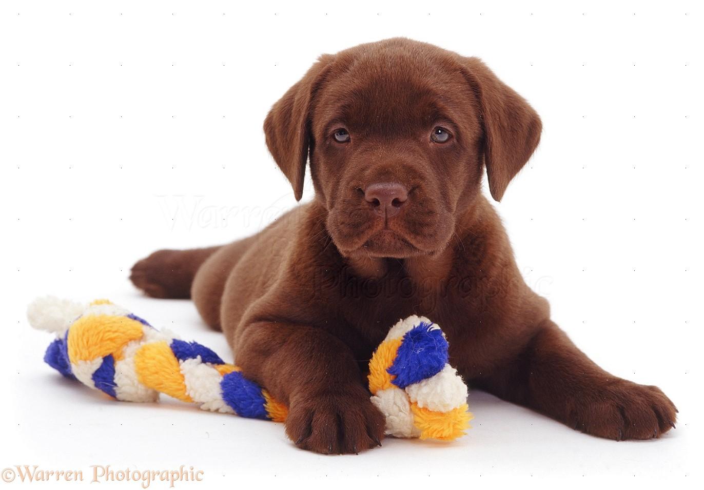 Dog: Chocolate Labrador Retriever pup, 6 weeks old photo - WP11382