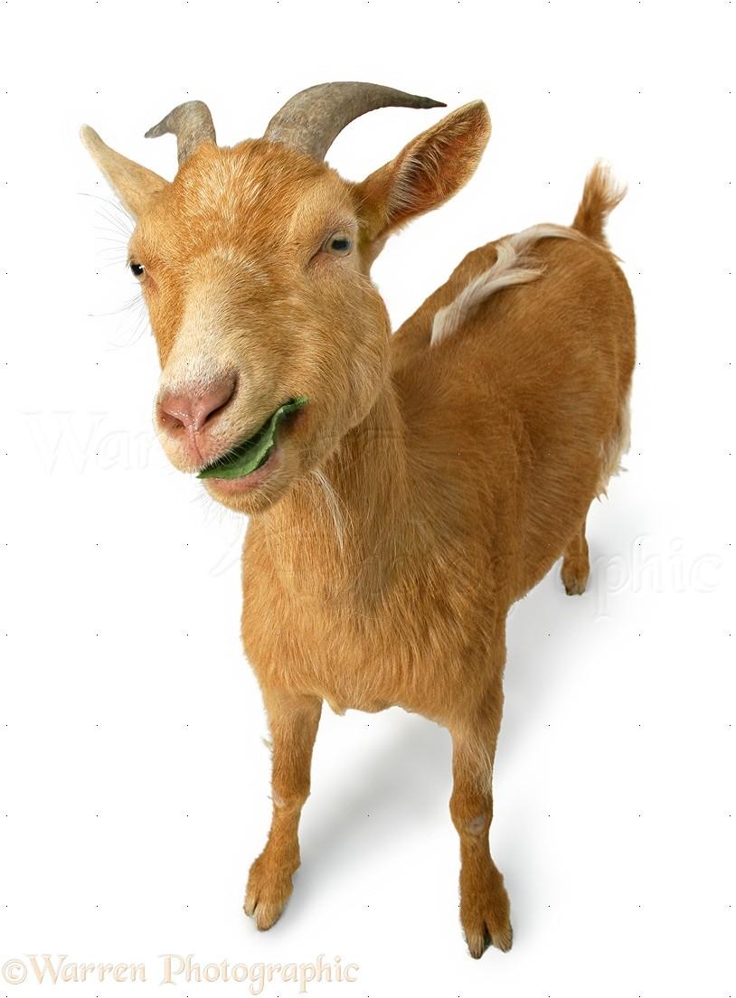 Ginger goat photo WP11398 One Goat White Background