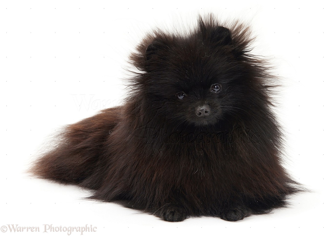 Dog: Black Pomeranian photo - WP11405