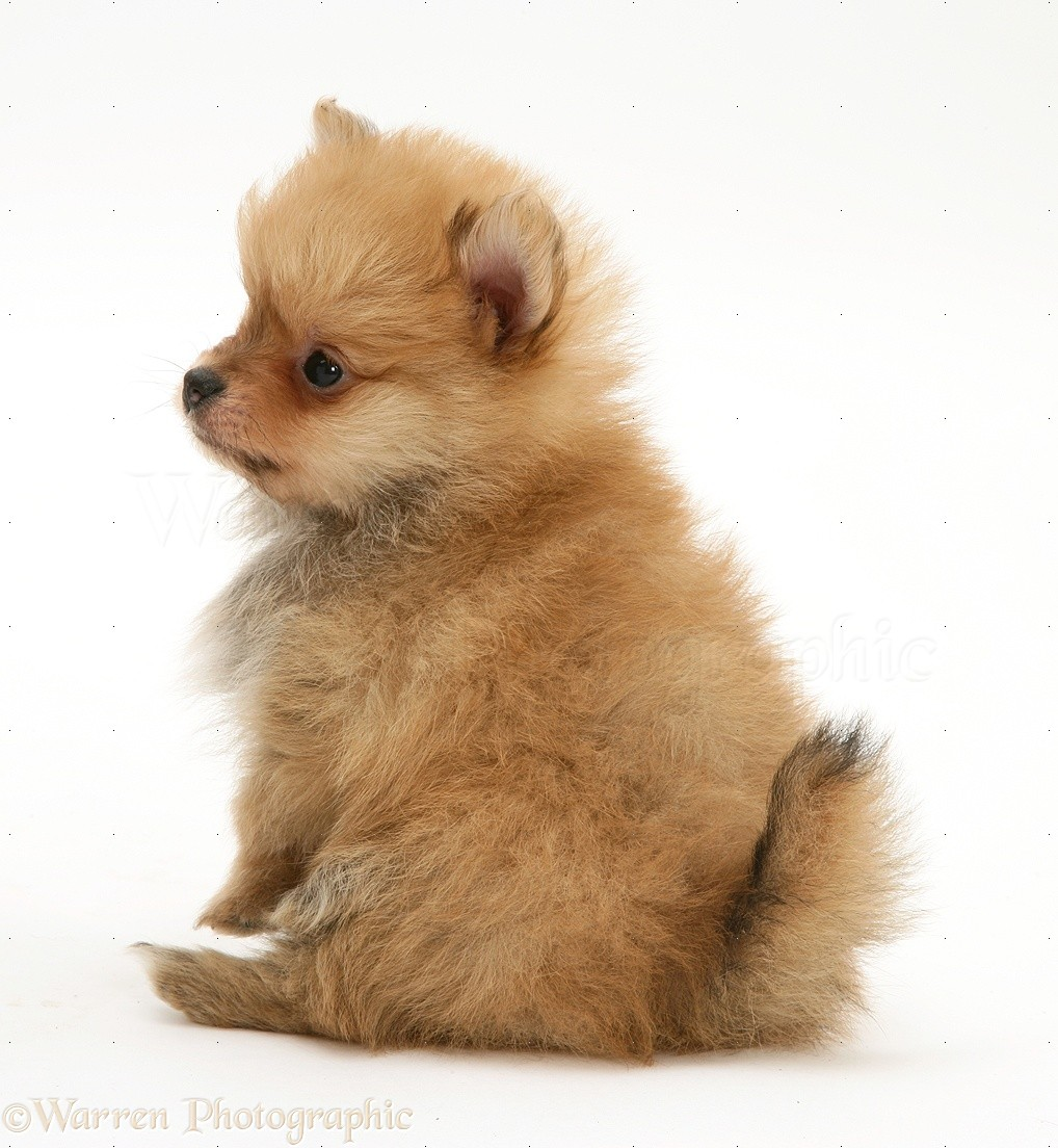 Dog Pomeranian Pup Photo Wp11415